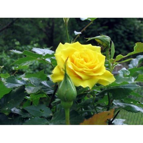 Jual Bibit Bunga benih mawar kuning yellow