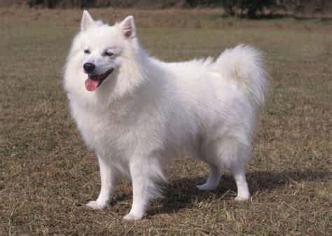 alaskan eskimo puppy 11 truly american breeds
