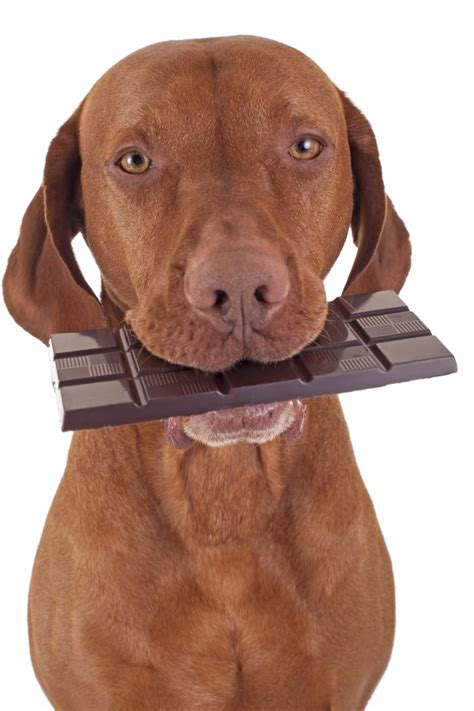puppy ate chocolate why can t dogs eat chocolate wonderopolis