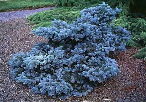 evergreen shrubs with blue flowers beechwood landscape architecture and construction blue