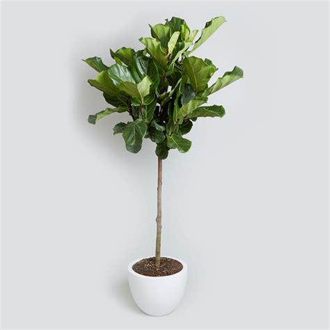 geigenfeige kaufen fiddle leaf fig ficus lyrata bush vs tree