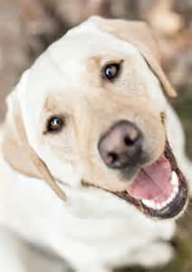why do golden retrievers noses turn pink 25 best ideas about yellow labrador puppies on labrador puppies golden