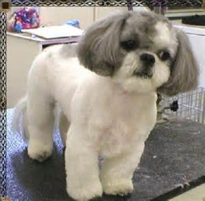 list of shih haircut cute dogs pets shih tzu pictures and wallpapers