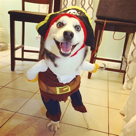 pirate puppy three legged mahle the husky totally nails costume metro news