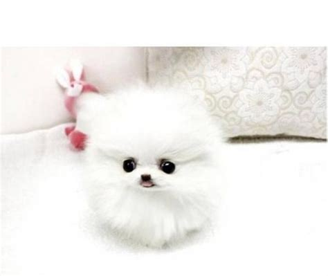 teacup pomeranian free teacup pomeranian puppies available free classifieds