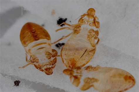 bed bug sheddings 3 shed skins of 5th instar bed bug nymphs a dorsal and