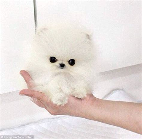 smallest pomeranian in the world buys smallest pomeranian in world named mr amazing for 13k daily