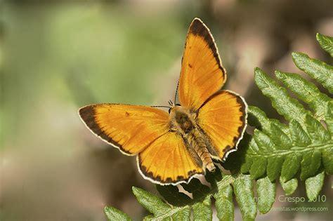 imagenes animales que vuelan lycaena virgaureae manto de oro guadarramistas