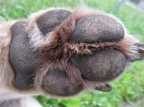 wolf paw - Dogs & Animals Background Wallpapers on Desktop ...