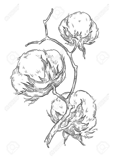 image result for cotton plant drawing cotton pinterest