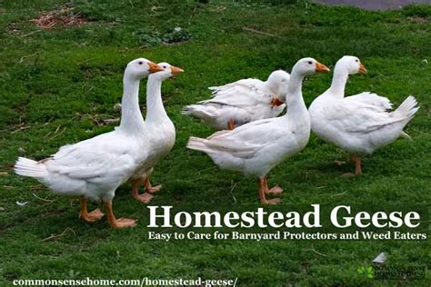 Backyard Geese by Homestead Geese Easy To Care For Barnyard Protectors And