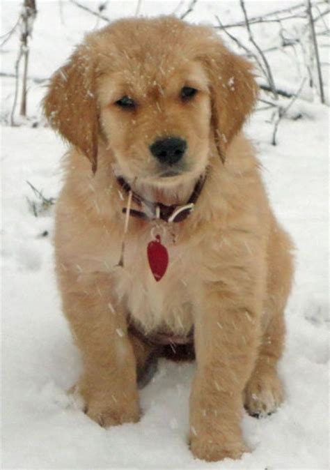 golden retriever retriever best 25 golden retriever names ideas on puppy names baby