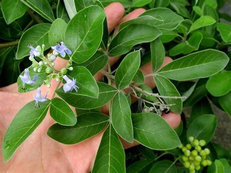mengenal tanaman legundi ciri ciri  khasiat