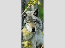 Best 25+ Black wolves ideas on Pinterest | Wolf black ... Growling Black Wolf With Yellow Eyes