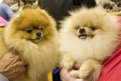 what is the lifespan of a pomeranian pomeranian spirit animal totems and messages