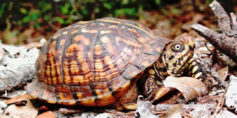 Turtle L by Eastern Box Turtle Turtleholic