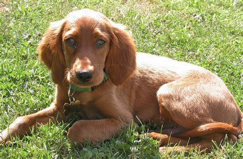 irish setter dog irish setter dog puppies wallpoop the wallpaper site
