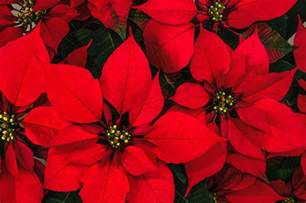 the origins of the poinsettia a long strange tale