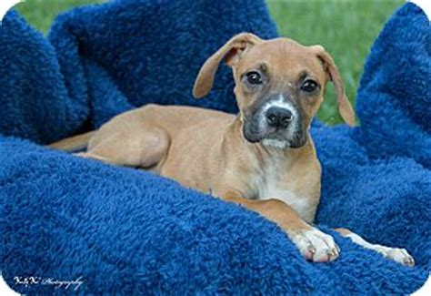 boxer puppies indianapolis boxer beagle mix puppy for adoption in indianapolis indiana