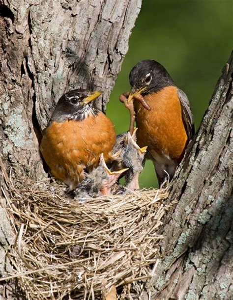 a baby robins eat 14 feet earthworms everyday
