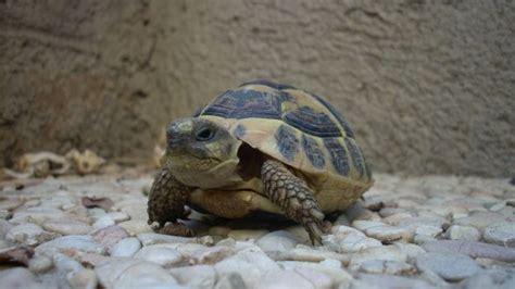 alimentazione tartarughe di terra piccole come prendersi cura delle tartarughe di terra deabyday tv