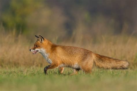 how to get rid of foxes in backyard how to get rid of foxes without killing them in winter