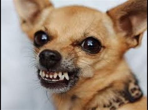 how to your not to be aggressive how to an aggressive chihuahua puppy