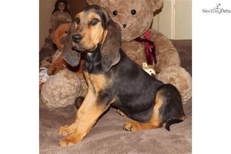 bloodhound puppy for sale bloodhound puppy for sale near springfield missouri c2ed9e65 2111