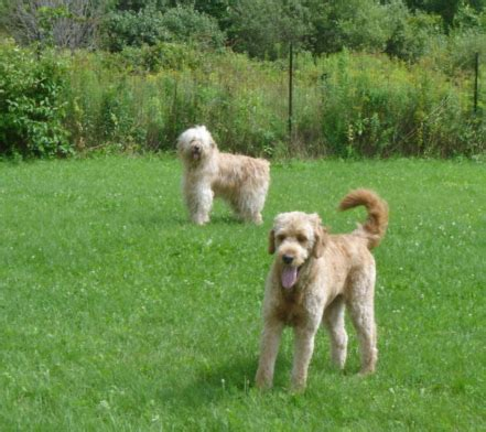 mini goldendoodle ottawa labradoodle pups for sale in ontario