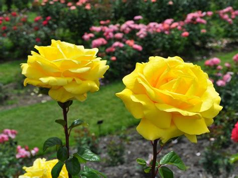 beautiful yellow roses wallpaperscom