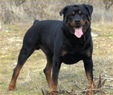 rottweiler puppies ireland ireland rottweiler breeders grooming puppies reviews articles muamat