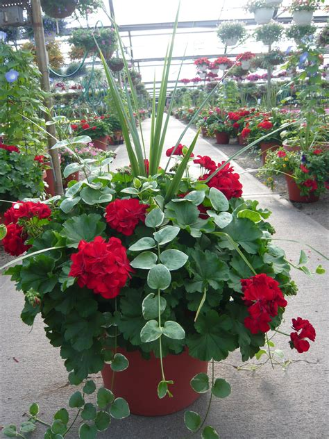 images of 6 flowers in pots geranium dracena the spiky stuff and vinca vine planter spectacular geraniums