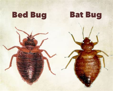 how long can bed bugs live without a host how long can bed bugs live without a host pestseek