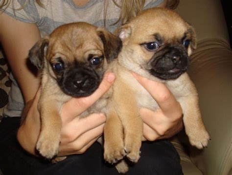 chihuahua pug puppies for sale chihuahua x pug puppies leter ceredigion pets4homes