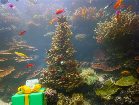 making of a live coral christmas tree s e a aquarium