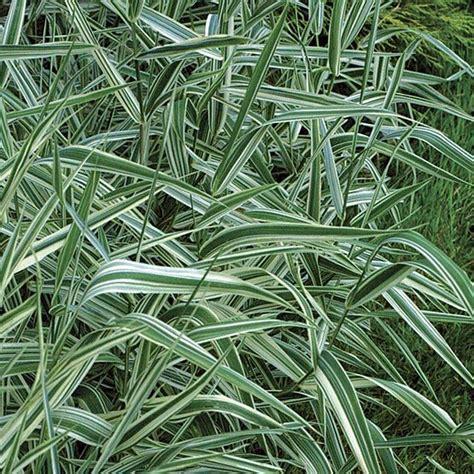 phalaris arundinacea ribbon grass cat jungle garden pinterest