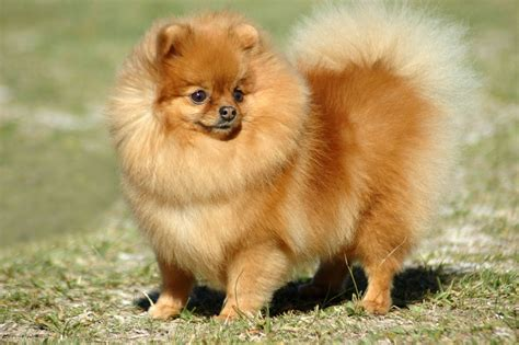 pomeranian spitz mix puppies pomeranian mix puppies 16 wide wallpaper dogbreedswallpapers