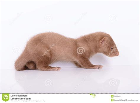 small animal heat l young animal mink stock photos image 32009543