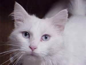 Gato Angora Related Keywords & Suggestions - Gato Angora Long Tail ... Gato