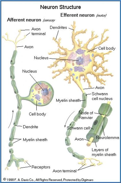 brain cell diagram 8 best bones anatomy images on anatomy