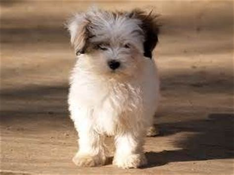 pomeranian shih tzu maltese mix best 25 pomeranian mix ideas on pomsky pomsky puppies and fluffy breeds