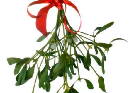 8 decidedly unromantic facts about mistletoe mental floss