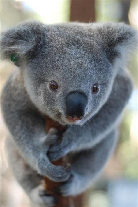 les meilleures    de bebe koala