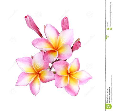 pink frangipani plumeria flower on white stock photo