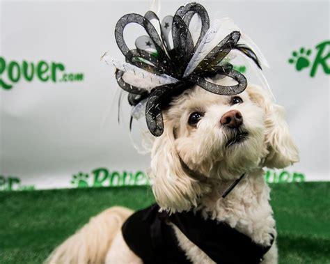 fabulous dogs  ready   kentucky derby