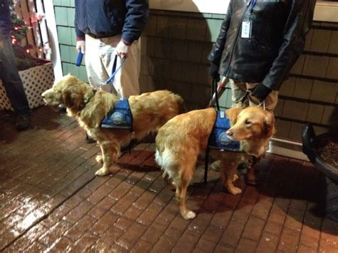 golden retrievers newtown ct golden retrievers sent to comfort newtown in of hook the lookout
