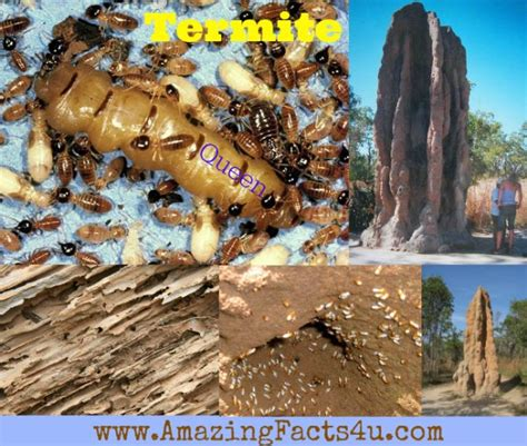 The Amazing Termite by Termite Amazing Facts 4 U