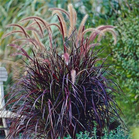 pennisetum rubrum from santa rosa gardens purple fountain grass