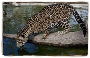 All About Jaguars Facts Jaguar Facts For Jaguar Jaguar Pictures Jaguar