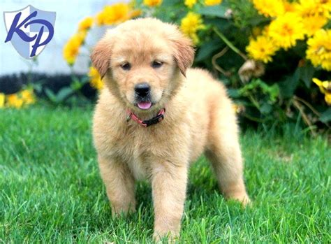 golden retriever breeder pennsylvania golden retriever mix puppies for sale in pa dogs in our photo